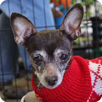 Chihuahua Dog for adoption in Durham, North Carolina - Olive