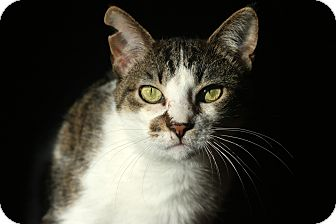 American Shorthair Cat for adoption in New Prague, Minnesota - Whisper