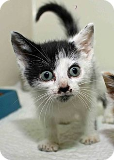 Domestic Shorthair Kitten for adoption in Erwin, Tennessee - Pringle