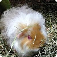 Guinea Pig for adoption in Quilcene, Washington - Saffron