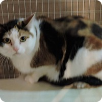 Calico Cat for adoption in MARENGO, Illinois - Little Sherman