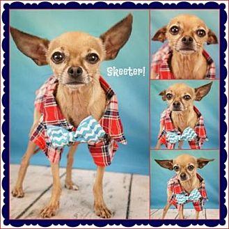 Chihuahua Mix Dog for adoption in Scottsdale, Arizona - Skeeter3