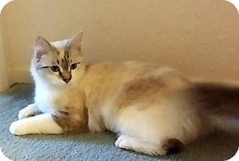 Siamese Cat for adoption in Palmdale, California - Sara