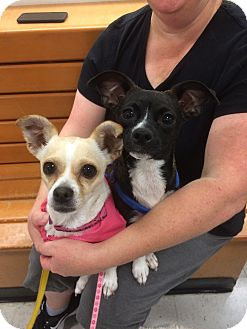 Chihuahua Mix Dog for adoption in Tracy, California - Ray-Ray-ADOPTED!