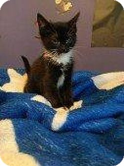 Domestic Shorthair Kitten for adoption in Hampton, Virginia - VIRGINIA