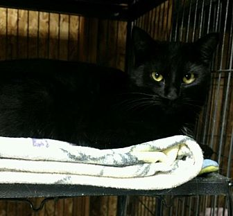 Domestic Shorthair Cat for adoption in Saginaw, Michigan - Onyx (Midnight)