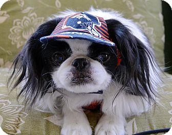 Japanese Chin Dog for adoption in Aurora, Colorado - Gidget