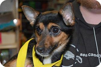 Chihuahua Mix Puppy for adoption in Brooklyn, New York - Clair Bear