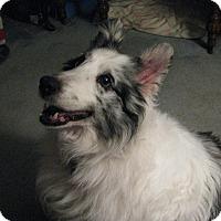 Sheltie, Shetland Sheepdog Dog for adoption in New Castle, Pennsylvania - Christi (Adoption Pending)