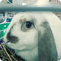American Fuzzy Lop Mix for adoption in Camden, Delaware - Chimi