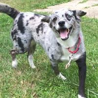 Adopt A Pet :: Maya - Spring City, PA