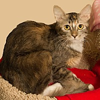 Domestic Longhair Cat for adoption in Fountain Hills, Arizona - Wink II
