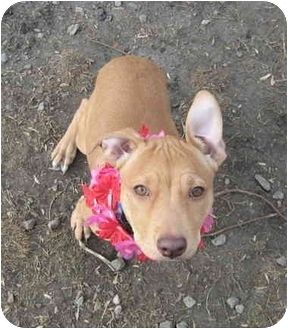 American Pit Bull Terrier Puppy for adoption in Portsmouth, Rhode Island - Luna