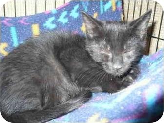Domestic Shorthair Kitten for adoption in Colmar, Pennsylvania - Pepper