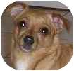 Chihuahua Dog for adoption in Hamilton, Ontario - Annie