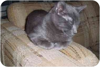 Domestic Shorthair Cat for adoption in Blairmore, Alberta - Curly