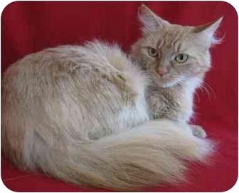 Domestic Mediumhair Cat for adoption in Port Hope, Ontario - Abigail