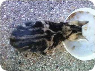 Domestic Shorthair Kitten for adoption in Houston, Texas - Racer