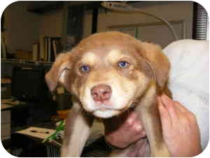Australian Shepherd Mix Puppy for adoption in Alexandria, Virginia - Keely