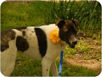 English Springer Spaniel Mix Dog for adoption in Bedminster, New Jersey - Dottie