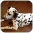 Photo 1 - Dalmatian Puppy for adoption in Middletown, Pennsylvania - Bella