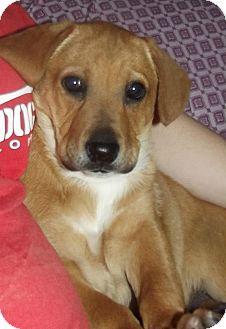 Chow Chow/Labrador Retriever Mix Puppy for adoption in Lima, Pennsylvania - Lucia