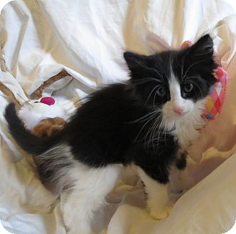 Domestic Longhair Kitten for adoption in Geneseo, Illinois - Nico