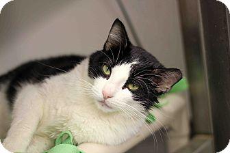 Domestic Shorthair Cat for adoption in Chicago, Illinois - Ramona Rainbow