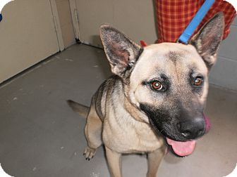 Akita Mix Dog for adoption in Wallaceburg, Ontario - Oscar