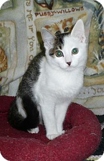 Domestic Shorthair Kitten for adoption in Pueblo West, Colorado - Harpo
