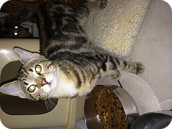 Domestic Shorthair Cat for adoption in Broadway, New Jersey - Davey Jones
