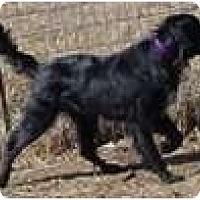 Adopt A Pet :: Simon - Denver, CO