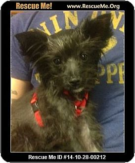 Yorkie, Yorkshire Terrier Mix Puppy for adoption in Phoenix, Arizona - Spice