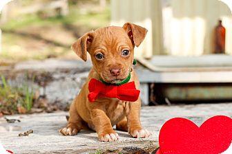 Dachshund/Miniature Pinscher Mix Puppy for adoption in Auburn, California - Smudge