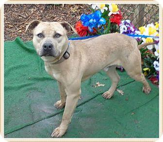 American Pit Bull Terrier Mix Dog for adoption in Marietta, Georgia - CARVER