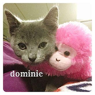 Domestic Shorthair Kitten for adoption in Bentonville, Arkansas - Dominic