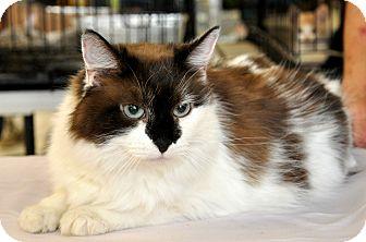 Calico Cat for adoption in Oakdale, California - Mia