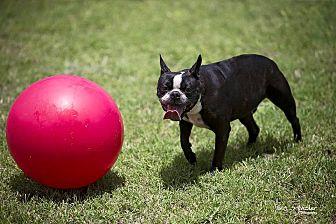 Boston Terrier Dog for adoption in Weatherford, Texas - GENE