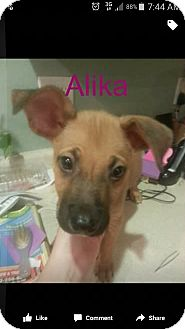 Shepherd (Unknown Type)/Labrador Retriever Mix Puppy for adoption in Mesa, Arizona - Alika