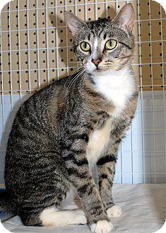 Domestic Shorthair Cat for adoption in Hayden, Idaho - Zajack