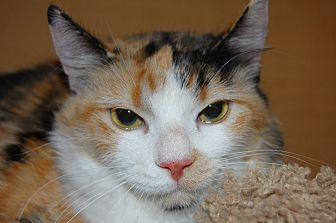 Calico Cat for adoption in Whittier, California - Gigi