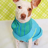 Jack Russell Terrier/Chihuahua Mix Dog for adoption in Phoenix, Arizona - Jake