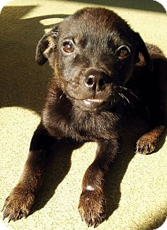 Rottweiler/Shepherd (Unknown Type) Mix Puppy for adoption in Los Angeles, California - CURRY (video)