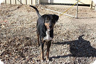 Labrador Retriever/Boxer Mix Dog for adoption in Pittsburg, Kansas - Timmy
