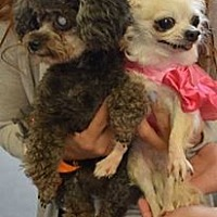 Poodle (Miniature)/Chihuahua Mix Dog for adoption in Ozone Park, New York - Polly and Starr