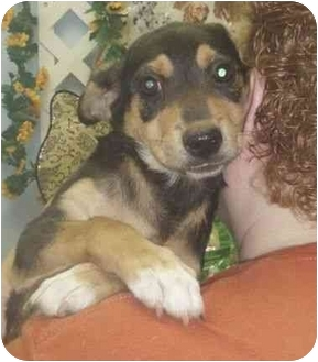 Beagle/Black and Tan Coonhound Mix Puppy for adoption in Salem, New Hampshire - Girdie