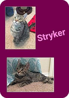 Domestic Shorthair Cat for adoption in North Richland Hills, Texas - Stryker