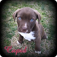 Adopt A Pet :: Cupid - Denver, NC