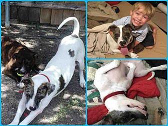 Catahoula Leopard Dog Dog for adoption in Waco, Texas - BRUNO