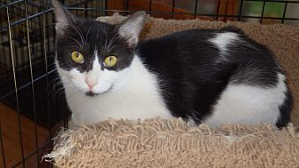 Domestic Shorthair Cat for adoption in Quail Valley, California - Kayla